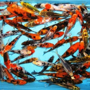 Pretty Koi Fish, LLC